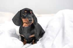 Lovely dachshund puppy just woke up, lying on soft blanket in bedroom early in morning and looks confused. Baby dog waits patiently for awaken of owner
