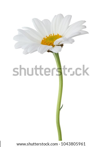 Lovely Daisy (Marguerite) isolated on white background, including clipping path.
