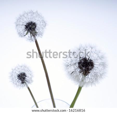 lovely dandelion against white background