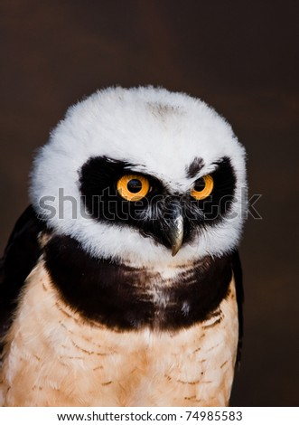 Lovely detailed image of Spectacled owl (Pulsatrix perspicillata)
