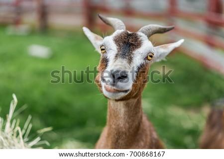 Lovely Goat