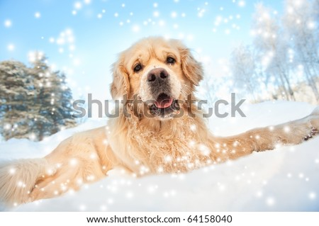 golden retriever puppies in the snow. stock photo : Lovely golden