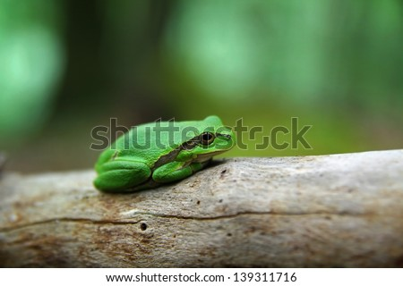 Lovely green treefrog in the forest