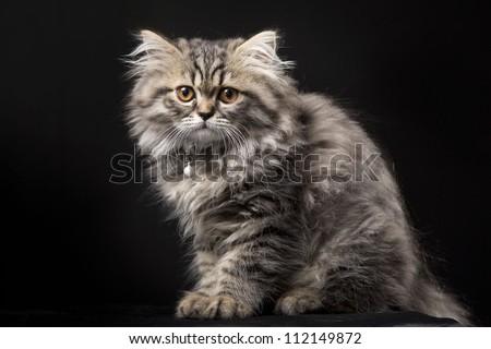 Lovely grey persian kitten on black background