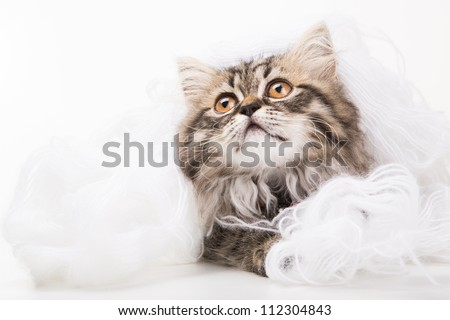 Lovely grey persian kitten playing in woolen yarn on white background