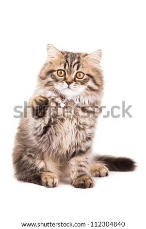Lovely grey persian kitten playing on isolated white white background