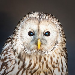 Lovely image of a ural owl looking at the viewer