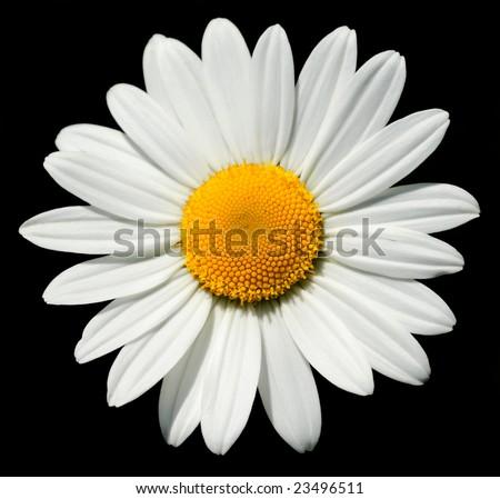 Lovely isolated daisy, with a shining heart