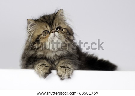 Lovely little persian kitten banner with space for text.
