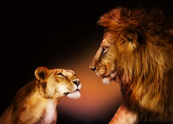 Lovely looking couple of two lions at each other
