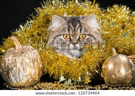 lovely Persian kitten  lying in basket with golden New Year's decoration on black background