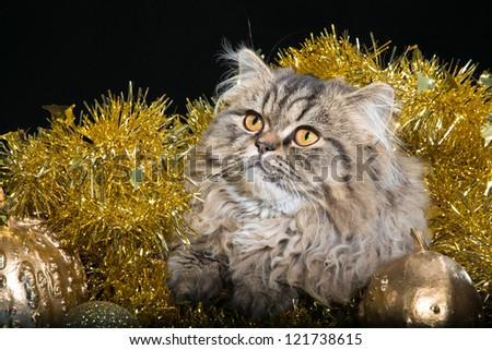 lovely Persian kitten  lying with golden New Year's decoration on black background