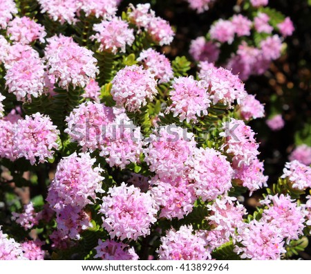 Free photos lovely pimelea ferruginea rice flower of the lovely pimelea ferruginea rice flower of the thymelaeaceae family with pink flowers blooming in crooked brook mightylinksfo