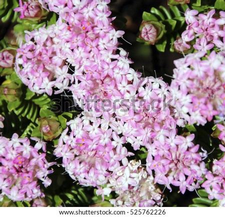 Free photos lovely pimelea ferruginea rice flower of the lovely pimelea ferruginea rice flower of the thymelaeaceae family with pink flowers blooming in the coastal mightylinksfo