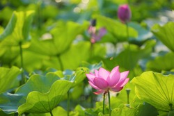 Lovely pink lotus flowers blooming among green lush leaves in a pond under bright summer sunshine & busy honey bees attracted by the fragrance of waterlilies