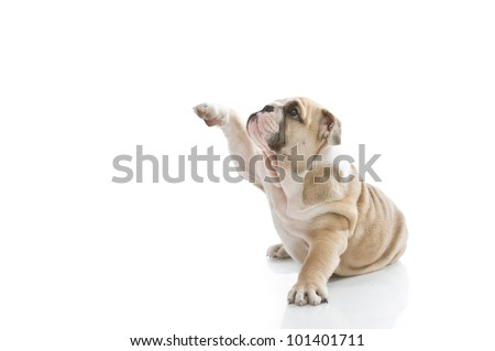 Lovely playful english bulldog puppy isolated