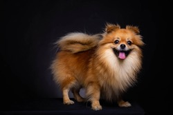 Lovely Pomeranian dog looks at camera on black background. Cute dog standing on black box. Charming doggy has beautiful brown hair or brown fur. It looks innocence, magnificent. It sticking out tongue
