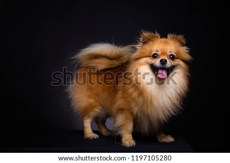 Lovely Pomeranian dog looks at camera on black background. Cute dog standing on black box. Charming doggy has beautiful brown hair or brown fur. It looks innocence, magnificent. It sticking out tongue #1197105280
