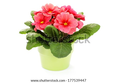 lovely primula on white background - flowers and plants #177539447