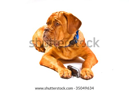Lovely Puppy of Dogue De Bordeaux with Cell Phone