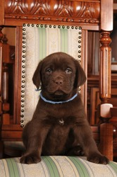 Lovely puppy of labrador retreiver chocolate color sits on the chair and looking at camera