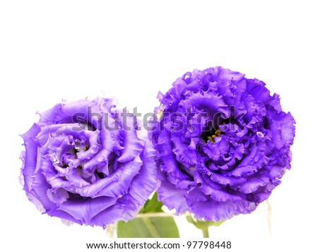 lovely purple flowers against white background