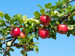 Lovely red apples, variety Red Devil, ripening on a tree branch with a blue sky background