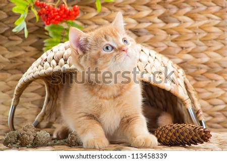 Lovely red British kitten looking out from under a basket in the autumn