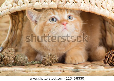 Lovely red British kitten looking out from under abasket in the autumn