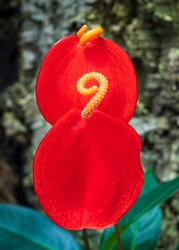 Lovely red flower with yellow rolled pistil