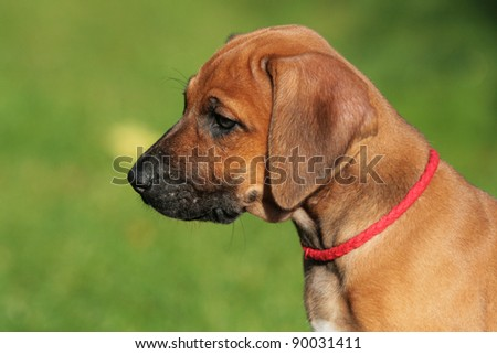 lovely rhodesian ridgeback puppy with cute expression in his face