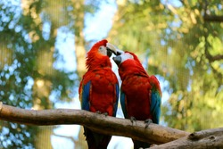 Lovely Scene of Scarlet Macaw Couple Kissing on a Tree Branch