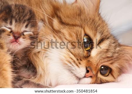 Lovely siberian cat with cute little kitten over white background