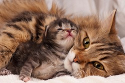 Lovely siberian cat with newborn kitten close-up
