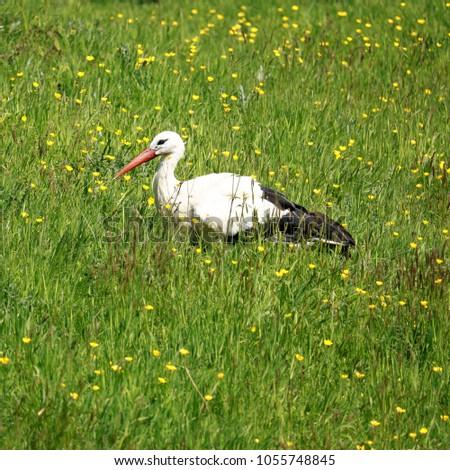 lovely stork in the grass #1055748845