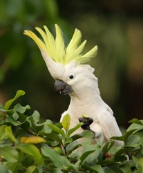 Lovely Sulphur-Crested Cockatoo with it's bright yellow crest fanned out whilst sitting in a guava tree at Howard Springs near Darwin, northern territory Australia