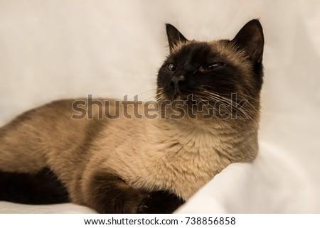 Lovely Thai cat #738856858