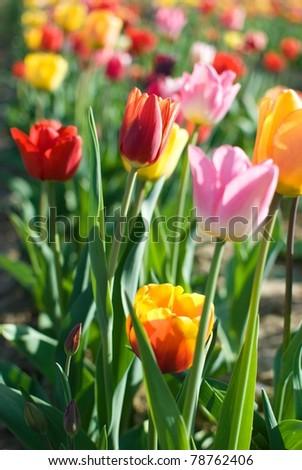 Lovely Tulips - stock photo