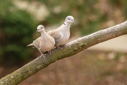 Lovely turtledove. Love birds on the branch.