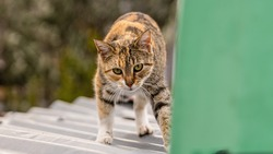 Lovely view from a domestic cute cat walking carefully on the rooftop. The gaze focus and the careful walking betray an increased sense of alertness. A hunter with a developed sense of survival.