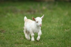 Lovely white baby goat running on grass, New England, USA
