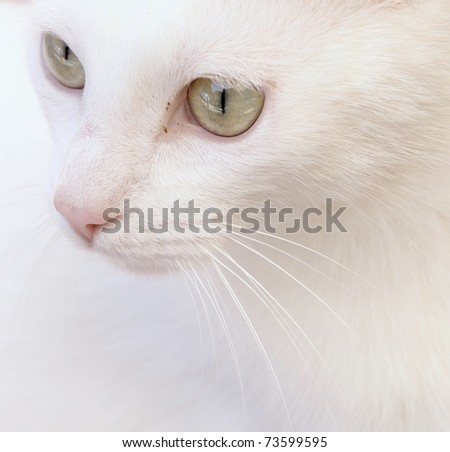 lovely white cat