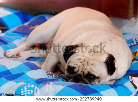 lovely white fat cute pug dog face close up lying on a big soft blue pillow outdoor making sad face under natural sunlight and country home surrounding bokeh background