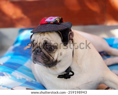 lovely white fat cute pug dog face close up lying on a big soft blue pillow outdoor wearing deep blue dog hat cap making sad face under natural sunlight with home surrounding bokeh background.