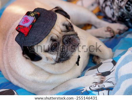 lovely white fat cute pug dog face close up wearing dark blue dog hat cap lying on a big soft blue pillow outdoor making sad face under natural sunlight.