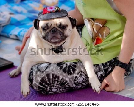 lovely white fat cute pug dog face close up wearing dark blue dog hat cap playing with an unidentified young girl outdoor making sad face under natural sunlight.