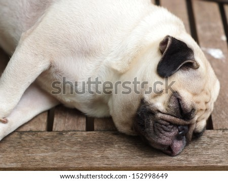 lovely white pug laying and sleeping on a resort style wooden table