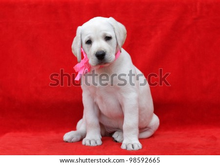 lovely yellow labrador puppy in pink ribbon portrait
