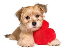 Lover Valentine Havanese puppy dog lying with a red heart, isolated on white background