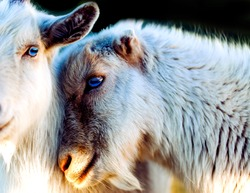 loves hit goat animals a large group of animals can be seen to experience it, or at least something very close to it.ome animal couples feel stronger attraction towards each other than Humans